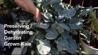In this video, I show how I preserve some of my garden harvest by dehydrating kale.  Kale is an incredibly healthy food, but it just isn't one of my favorite foods.  By dehydrating kale and then turning it into a powder, I can add it to foods in small amounts.  With a one teaspoon of dehydrated kale powder equal to several kale leaves, a healthy dose of kale can be added to different foods (sauces and smoothies) while not being inundated with the kale taste.