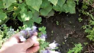 Фацелия - отличный медонос и сидерат