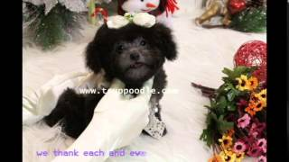 Potty Training Super Tiny Teacup Poodle (Teddy Bear) @ Hong Kong Mini Teetassenpudel