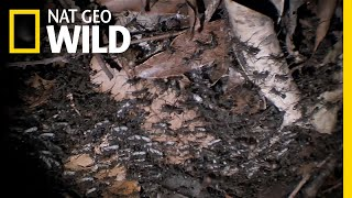 These Army Ants Demand Corpses | Nat Geo Wild by Nat Geo WILD