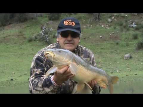 Pesca GRANDES BARBOS con caracol / Fishing Great Barbels