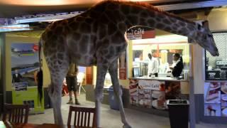 В Йоханнесбурге жираф посетил бар