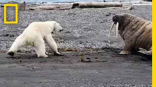 Video Mother Polar Bear, Desperate for Food, Tests Walrus | National Geographic MP3, 3GP, MP4, WEBM, AVI, FLV Oktober 2018
