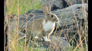 Video Bowhunting rabbits IMPACT SHOTS MP3, 3GP, MP4, WEBM, AVI, FLV Agustus 2017