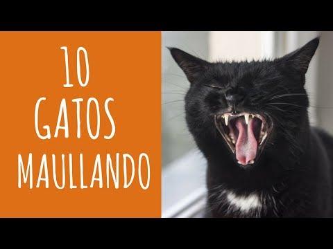 10 gatos maullando mucho y fuerte-Para molestar a tu gato o perro HD Sound Effect