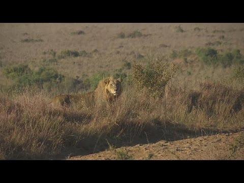 Ναϊρόμπι: Παρακολουθώντας τις δράσεις των λιονταριών