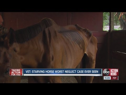 horse - The Hillsborough County Sheriff's Office is filing a neglect charge against a Carrollwood woman for one of the worst cases of horse neglect veterinarians hav...