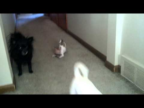 Chihuahua boy puppy playing