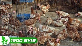 Chăn nuôi | Phác đồ điều trị bệnh tụ huyết trùng ghép thương hàn cho gà