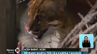 Download Video Langka, Kucing Emas Ditemukan Terperangkap di Garasi Rumah Warga Aceh Barat - iNews Siang 14/03 MP3 3GP MP4