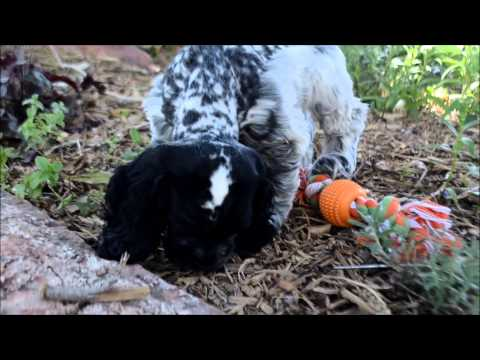 Stormy AKC Blue Roan Cocker Spaniel Puppy for sale