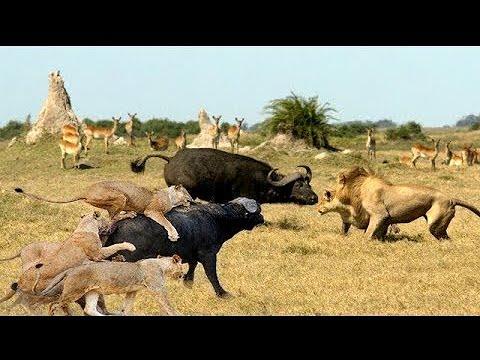 Discovery Wild Animal Fights | 2 Buffalo vs 10 Lion, Hyena & Wild dogs attacks Deer - Baboon,tiger..