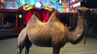 Camels Don't Belong In The Circus