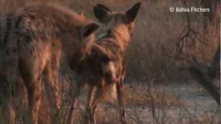 Video Solo: The Wild Dog MP3, 3GP, MP4, WEBM, AVI, FLV Januari 2018