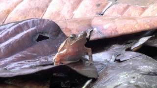 Video report of a BINCO expedition to Savane-Roche Virginie, French Guiana. For more info see www.binco.eu.