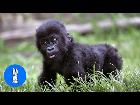 Video Baby Gorillas Being Naughty - Cutest Compilation download in MP3, 3GP, MP4, WEBM, AVI, FLV January 2017