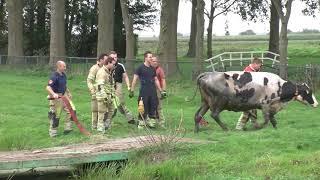 Brandweer redt koe uit sloot