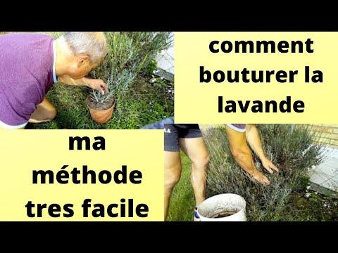 Comment faire des boutures de lavandes f1rcx jardin - Bouture de l hibiscus de jardin ...