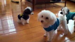 AKC Micro Teacup Poodles - MOs Family Crazy Mode