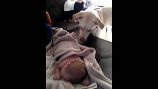 Pies przykrywa kocykiem małe dziecko