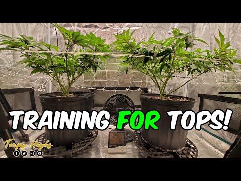 Training Gorilla Zkittlez CANNABIS plants for LOTS of TOPS under SP3000 Light