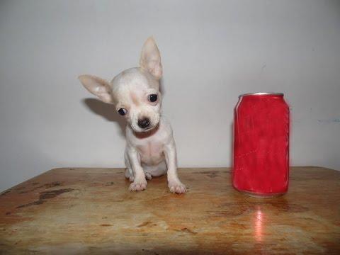 Venta de Chihuahuas – Bolsillo, Mini Toy, Tacita, Teacup, Micro