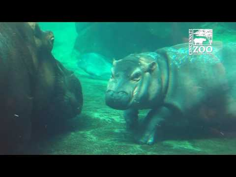Baby Hippo Fiona and Mom Bibi Outside Together for the First