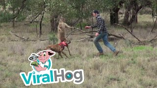 1. Man punches a kangaroo in the face to rescue his dog (Original HD)