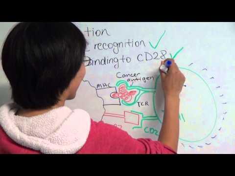 Immune Checkpoint Blockade: Ipilimumab and the CTLA-4 Receptor