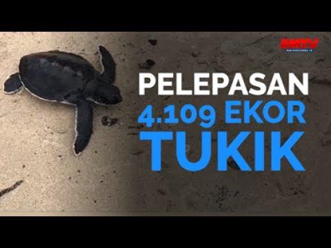 Pelepasan 4.109 Ekor Tukik