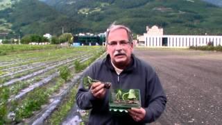 #363 Testanbau von Süsskartoffeln