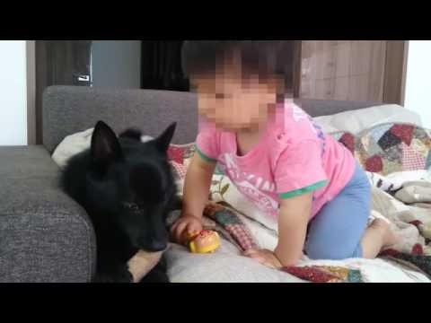 【犬と赤ちゃん】スキッパーキ クー  赤ちゃんが一緒に棒で遊びたい
