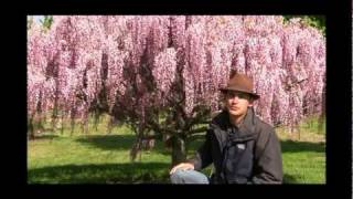 http://gurneys.com/double-flowered-wisteria/p/82658/ - In this video, Felix from Gurney's demonstrates how to train the popular...