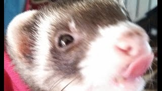How To Litter Box Train Any Ferret  With Bonus Safety Tips