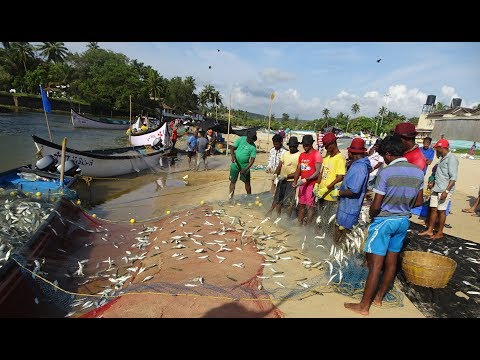 Bumper Fish Catch Mackerels Baga Beach