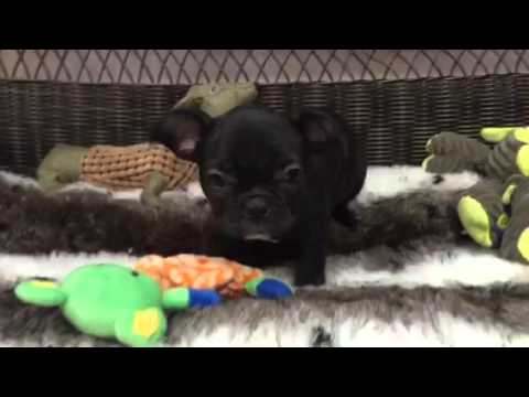 Silly & Cute As Can Be, Baby Boy French Bulldog!