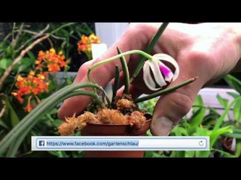 Orchideen Arten: Leptotes bicolor - eine Orchidee aus Brasilien und Paraguay