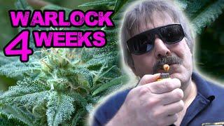 Serious Seeds - Warlock 4 weeks by Urban Grower