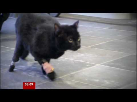 0 First Cat Amputee Fitted With 'Bionic' Feet