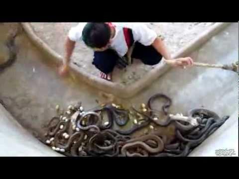 Rùng mình khi vệ sinh chuồng rắn Hổ mang chúa