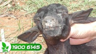 Chăn nuôi dê   Phân biệt bệnh lở mồm long móng và viêm miệng do virus ở dê