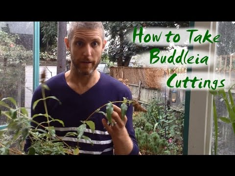 How to Take Buddleia Cuttings