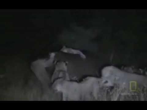 hipopotamo muerde mortalmente a leona