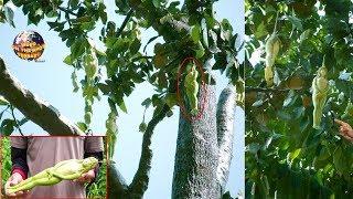 Video Pohon Berbuah Gadis BUGlL ini Bikin Gempar Dunia.! Bukti KUASA TUHAN.!? 5 Buah & Bunga Aneh.!! MP3, 3GP, MP4, WEBM, AVI, FLV Juni 2019
