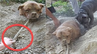 Dog Found Buried Alive Defies Her Abuser By Living An Awesome Life by Did You Know Animals?