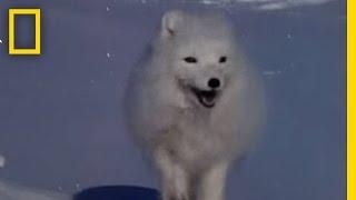 Video Arctic Fox Raids Polar Bear Kill   National Geographic MP3, 3GP, MP4, WEBM, AVI, FLV Oktober 2017