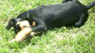 Tiffah - Rottweiler / American Bulldog / Mixed (short coat) Dog For Adoption