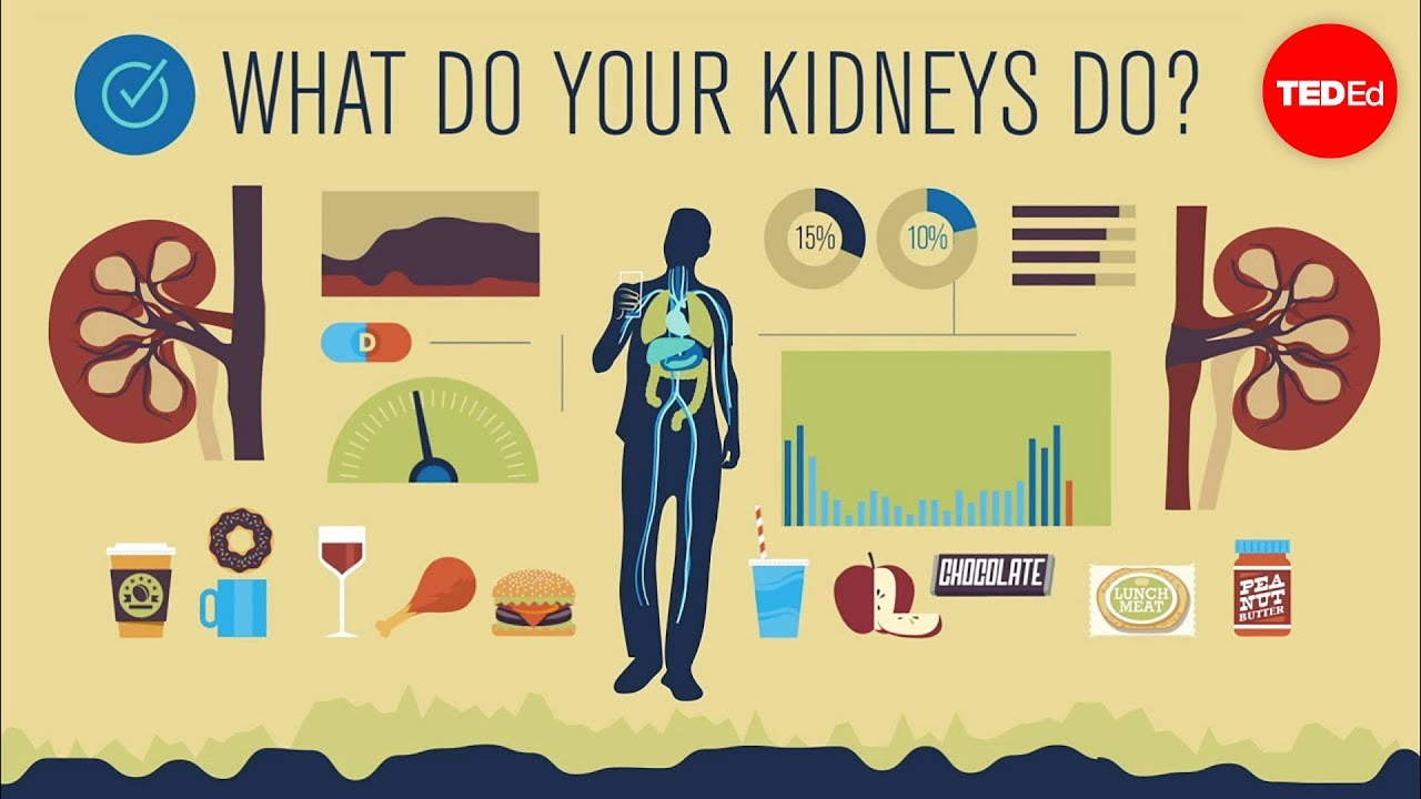 Video: What's the use of kidneys?