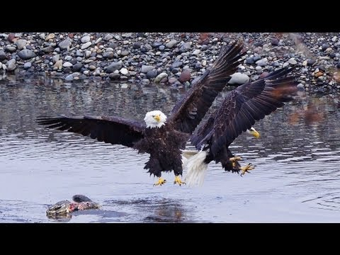Bald Eagles River Feast (HD)