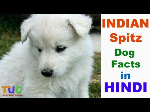INDIAN Spitz Dog Facts In Hindi : Popular Dogs : Dogs And Facts : The Ultimate Channel